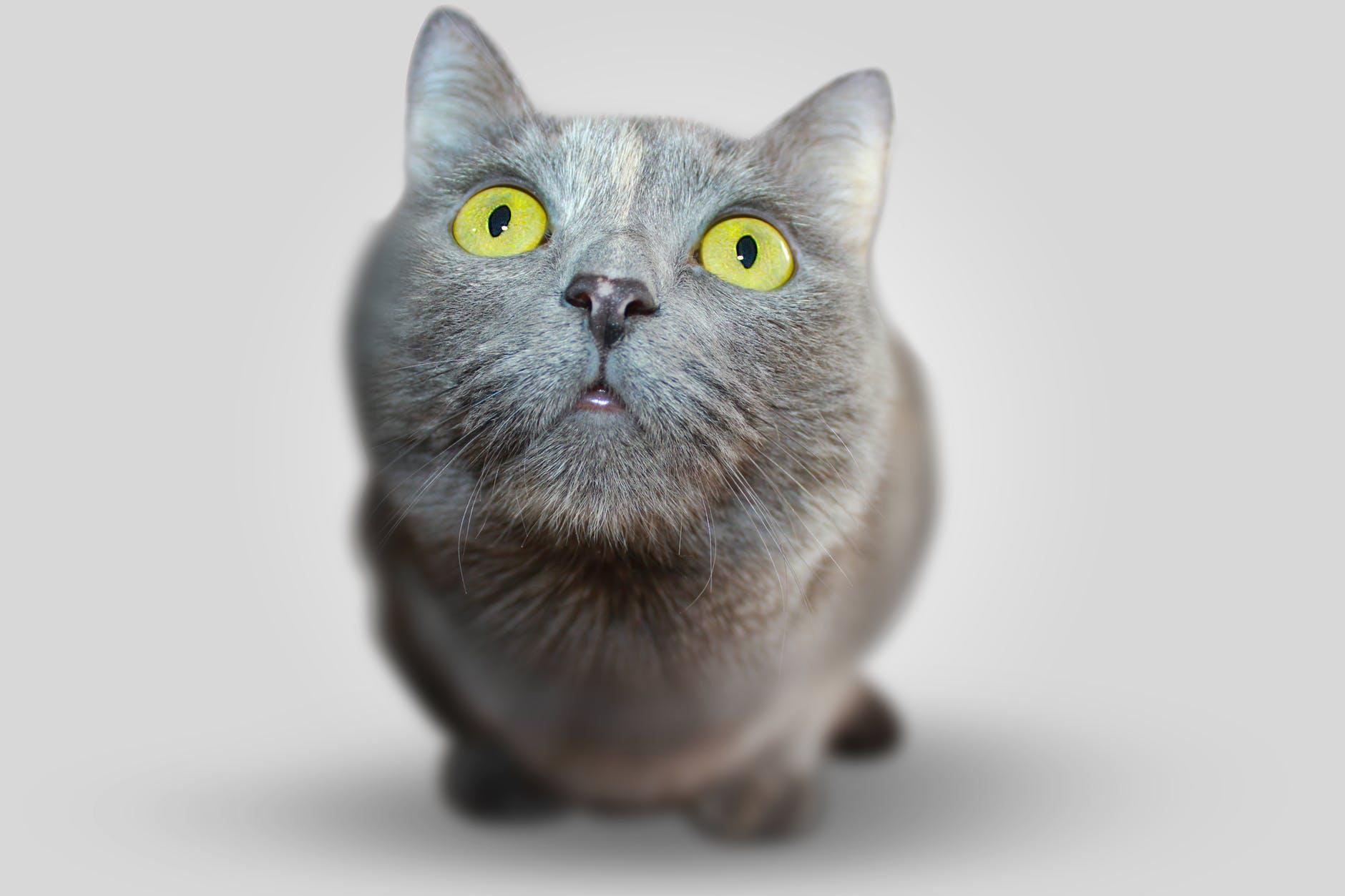 animal pet eyes grey